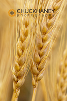 Mature Wheat Head